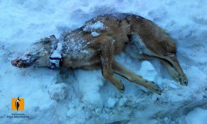Trovato morto lupo che era stato avvelenato in Alta Valle Grana