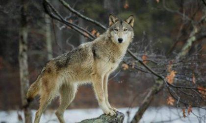 Regione: Il Governo adotti il piano nazionale di gestione dei lupi