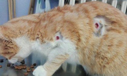 Salvo per miracolo il gatto impallinato con colpi di gomma