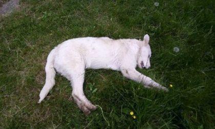 Cucciolo ucciso a bastonate: taglia di 5mila euro sui responsabili