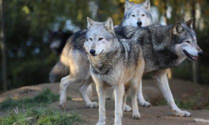 Branco di lupi a Frabosa Soprana fa strage di pecore