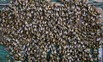 Furto d'arnie nel cuneese, denunciato il presunto ladro di api