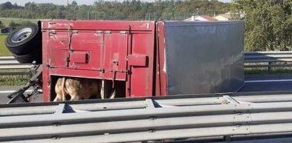 Camion ribaltato lungo la SS20, morta una ventina 20 bovini
