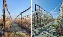 I danni causati dal gelo: 100% delle perdite per kiwi e albicocche, 90% per pesche e ciliegie