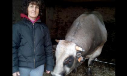 Bagnolo Piemonte, 60enne muore incornata da un toro