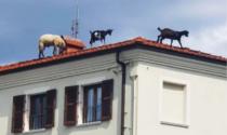 Sui tetti di Beinette pascolano due capre e una pecora