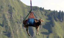 Mucca precipita nel vuoto durante un trasporto in elicottero