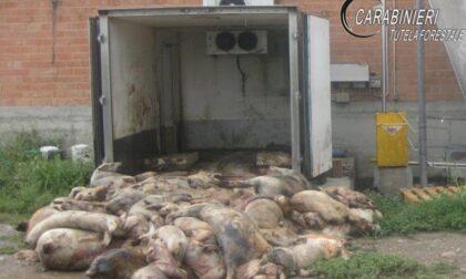 Allevamento di Fossano nei guai: abbandonava carcasse di suini nelle stalle (e gli altri animali le mangiavano)
