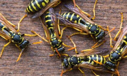 Attaccato da uno sciame di vespe: malgaro in ospedale per forte reazione allergica